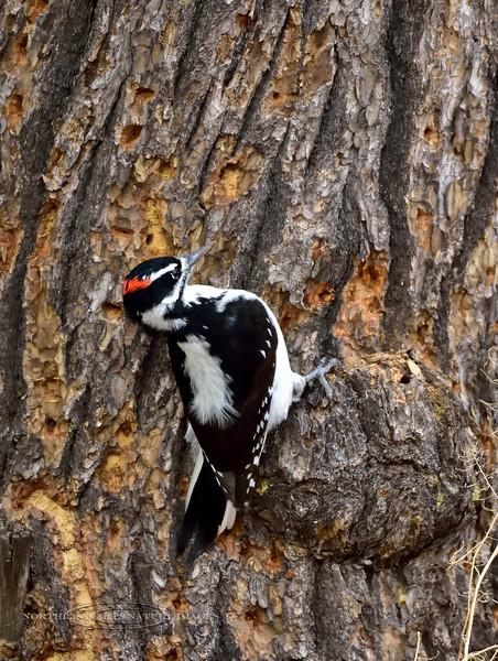 Woodpecker, Hairy. Kaibab Forest, Coconino County, Arizona. #1129.641.