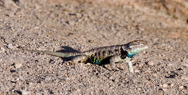 A Desert Spiny Lizard 2018.6.29#046. Sceloporus  magister. A male.  Pahranagat Wildlife Refuge, Nevada.