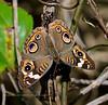The Common Buckeye 2020.9.19#5458.3. Junonia coenia. Cape May Point, Cape May, New Jersey.
