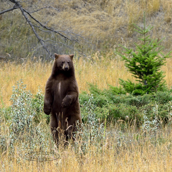 Black Bear 2017.9.8#1496. A Cinnamon color phase Black bear. Alberta Canada.