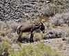 Wild Burro 2021.6.14#3884.2. Mohave Desert near Beaty, Nevada.