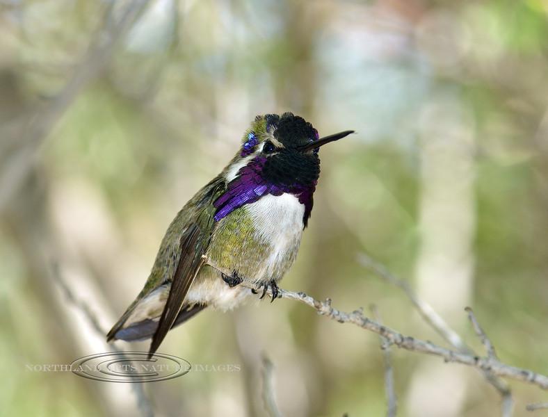 Costa's Hummingbird 2019.3.20#215. Sonoran Desert, Pima County Arizona.