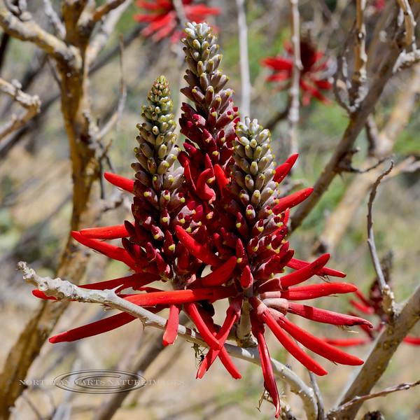 Western Coralbean 2019.6.4#100. Santa Rita Mountains, Arizona.