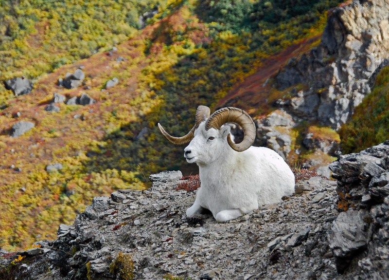 2008.9.5#267.5. A Dall ram is resting as the sun is leaving his canyon. Denali Park Alaska.