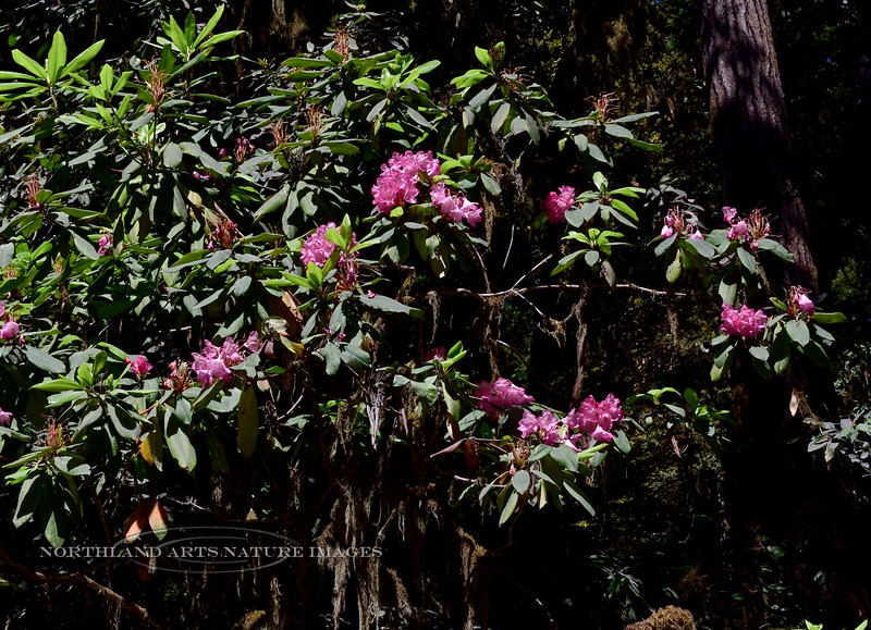 California Rhododendron 2021.6.20#8674.3. Rhododendron  macrophyllum. Jedediah Smith Redwoods State Park, California.