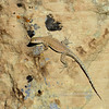 Lizard, Uta stansburiana, Common Side blotched species. See reptile gallery for more. Central Utah. #107.582.
