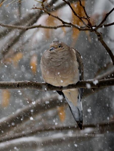 Mourning Dove 2018.12.31#027. An unusual dark snowy day in Prescott Valley Arizona.
