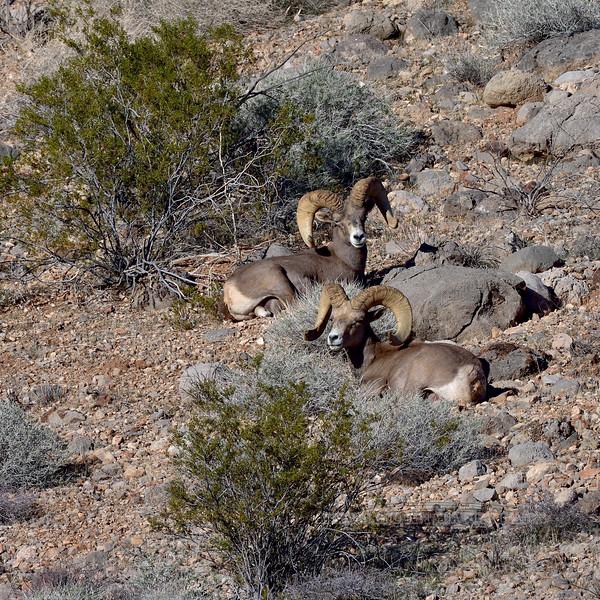 Desert Bighorn rams 2019.1.18#1180. Lake Mead Nevada.
