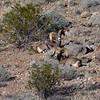 Desert Bighorn rams 2019.1.18#1180. Lake Mead Nevada.