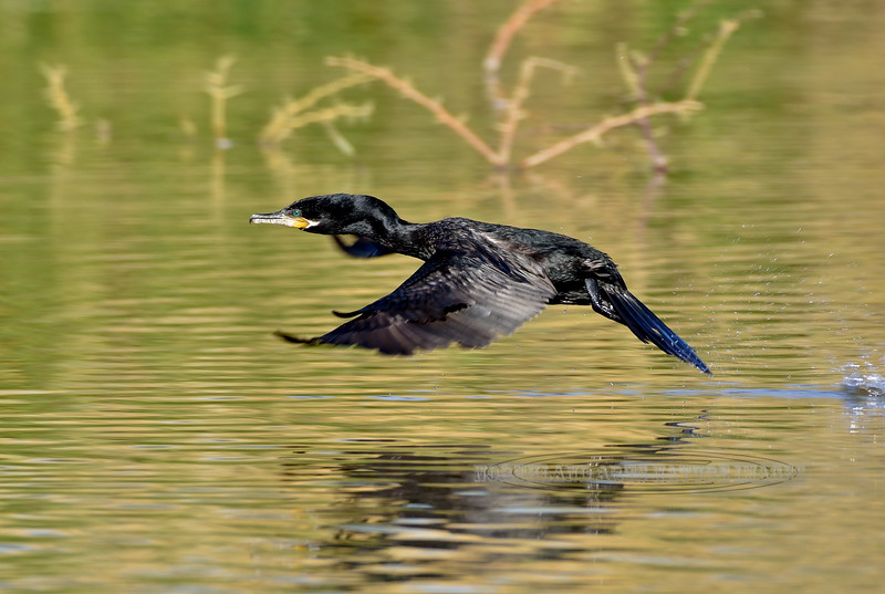 Cormorant, Neotropic. Maricopa County, Arizona. #1213.860.