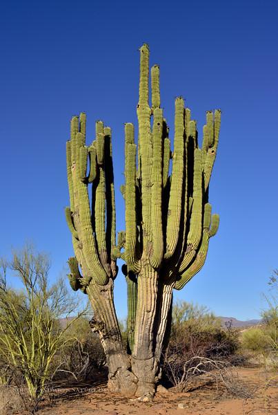 Sagauro Cactus 2018.6.19#243. Carnegiea gigantea. Near the east <br />  end of Roosevelt lake, Gila County Arizona.