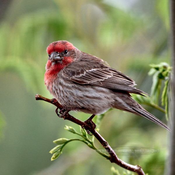 House Finch 2018.5.2#152. Prescott Valley Arizona.