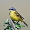 Wagtail, Eastern Yellow. Teller area, Seward Peninsula, Alaska. #622.622. 1x1 ratio format.