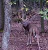 Eastern Whitetail buck. 2020.9.24#4636.2. Penn's Woods, Pennslyvania.
