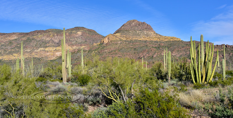 Organ Pipe and Saguaro Cactus in the Ajo Mountains. 2019.3.5#114. Organ pipe Cactus Nat. Monument Arizona.