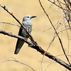 Clark's Nutcracker 2017.9.12#3223. Nat. Bison Range, Mission Valley Montana.