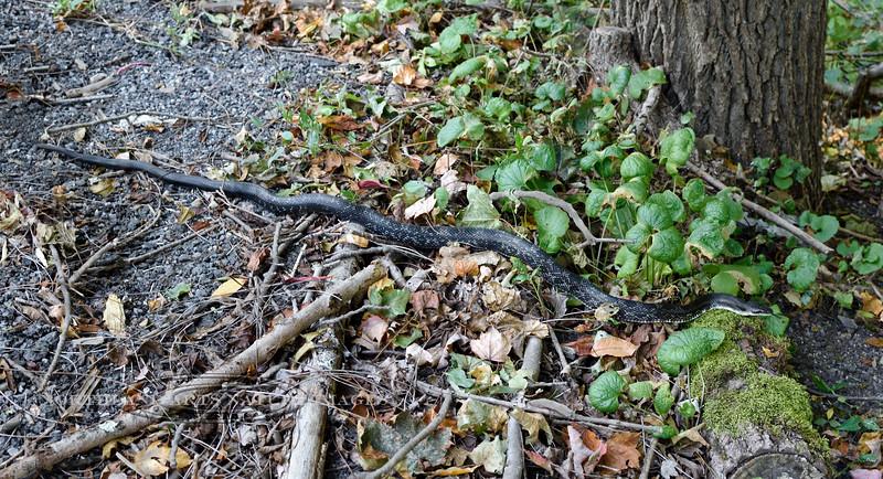 Eastern Rat Snake 2020.9.23#1682.3. Penn's Woods Pennsylvania.