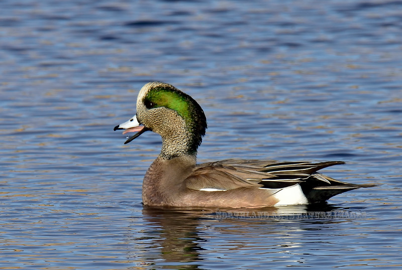 American Widgeon 2017.11.10#978. Willow Lake, Yavapai County Arizona.
