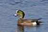SWANS, GEESE & DUCKS-Duck, Widgeon, American 2017.11.10#978. Willow Lake, Yavapai County Arizona.
