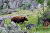 A boar cinnamon color phase Black  Bear is following a sow 2019.6.20#598.  Lamar Canyon, Yellowstone Park Wyoming.