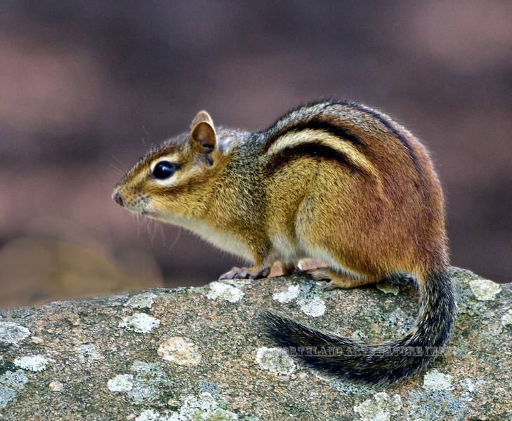 A great shot of a really colorful Eastern Chipmunk. Columbia County, Pennsylvania. Photo by Guy J.