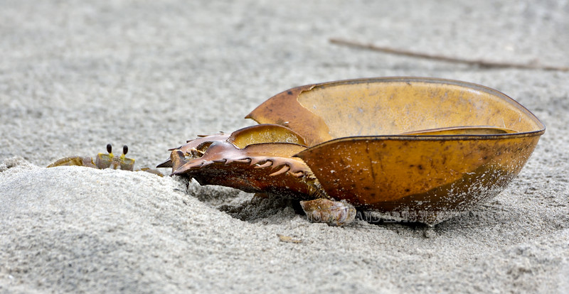 2020.9.18#3. An Atlantic Ghost crab next to the exoskeleton of a  Horseshoe Crab. Near Stone Harbor Point, Cape May, NJ. Photo by Guy J.