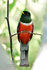 Elegant Trogon 2019.5.26#082. Madera Canyon, Santa Rita Mountains Arizona.
