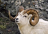 "A great ram from the 'Old Days"" 1998.4.17.3. Going back through slide transparency's and film I'm finding lots of images that weren't good enough or too much trouble to develop when I was selling photography and working. There were a lot of good looking animals that were never shared. This image and the next couple are examples of these. Turnagain Arm, Alaska. Scanned and salvaged from a 4x6 photograph."