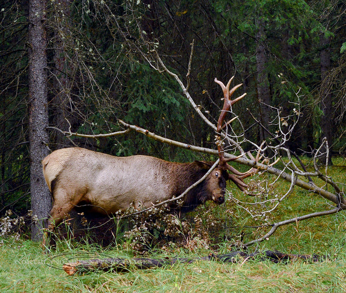 E-2017.9.9#481.4. An enraged, rutty Rocky Mountain bull Elk trying to tear a tree top apart. Alberta Canada.