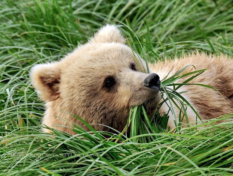 Brown Bear 2010.8.11.#122.4. Grazing in Sedge. McNeil River, Alaska peninsula Alaska.