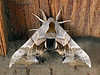 Moth, One-eyed Sphinx, smerinthus cerisyi. #525.351. Stanley, Idaho. 3x4 ratio format.