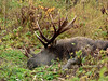 Bull  moose 2016.10.1#027. A bull that had taken over a small group of cows at the height of the estrus period and is obviously a little worn out. Near the Chalet in Kincaid Park, Anchorage Alaska.