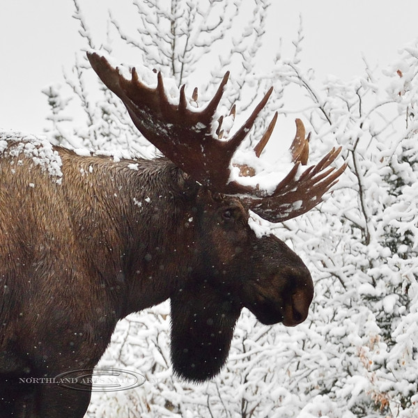 A bull Moose 2015.9.16#212. The same bull from the previous two images. The snow must have inspired him, as he went on quite a walkabout. I was able to capture images of him in three different areas this day. Savage country, Denali Park Alaska.