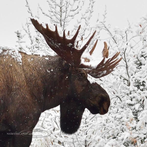 Moose, Alaskan. Alaska Range, Alaska. #916.212.