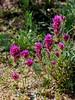 Castilleja exserta, Purple Owls Clover. Sonora Desert near Tucson Arizona. #37.0023.