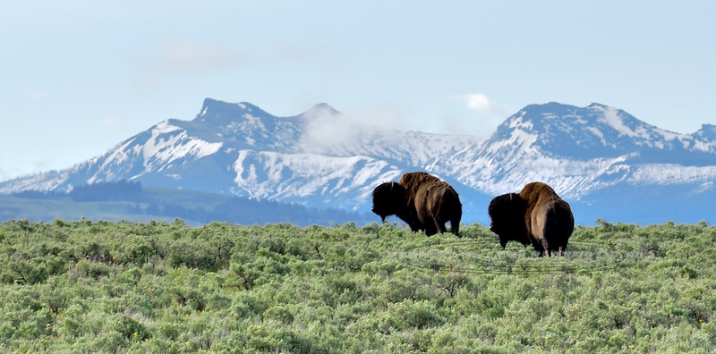Plains Bison. 2019.6.20#234. Cresting a hill over Lamar Valley, back dropped by the Outer Range, Yellowstone Park Wyoming.