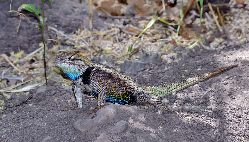 A beautiful  male Desert Spiny Lizard. 2021.5.14#3269.3. Sceloporus magister. Hassayampa River, Arizona.