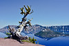 2021.6.19#8369.4. A famous Whitebark Pine krummholz skeleton on the rim of Crater Lake. Back dropped by an even more famous Cinder Cone called Wizard Island. Crater Lake Nat. Park, Oregon.