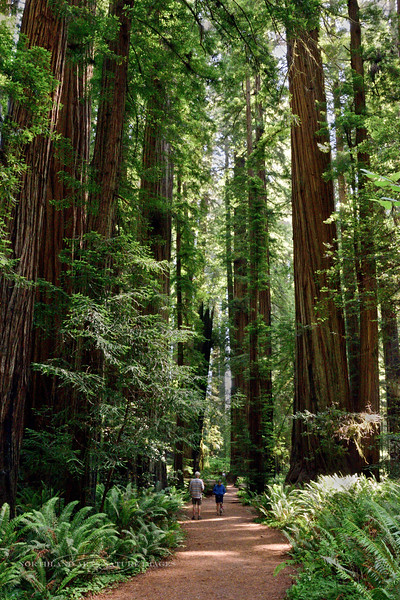 2021.6.20#8696.3. Coastal Redwoods, Sequoia sempervirens. Two tiny people in the Stout Grove of the Jedediah Smith Redwood State Park, California.