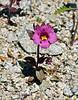 Bigelow's Monkeyflower. 2020.4.21#8119.3. Mimulus bigelovii. In the Newberry Mountains Nevada.