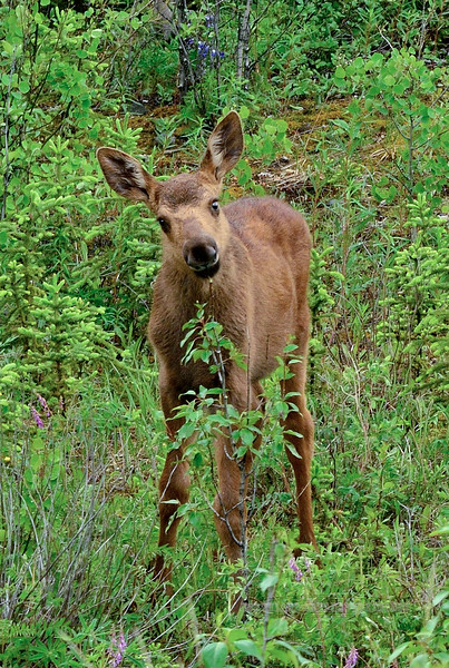 Alaska Moose calf 2016.6.12#203,3X. Browsing on willows at the forest edge. Near the Riley Creek campground, Denali Park Alaska.