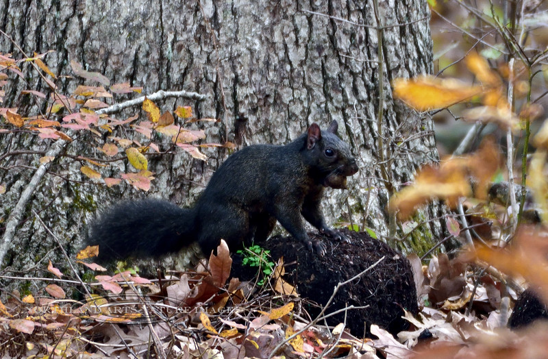 Eastern Gray Squirrel 2019.10.25#5215.4X. A great example of a black phase Gray Squirrel. Penns Woods, Bucks County Pennsylvania. Photo by Guy J.