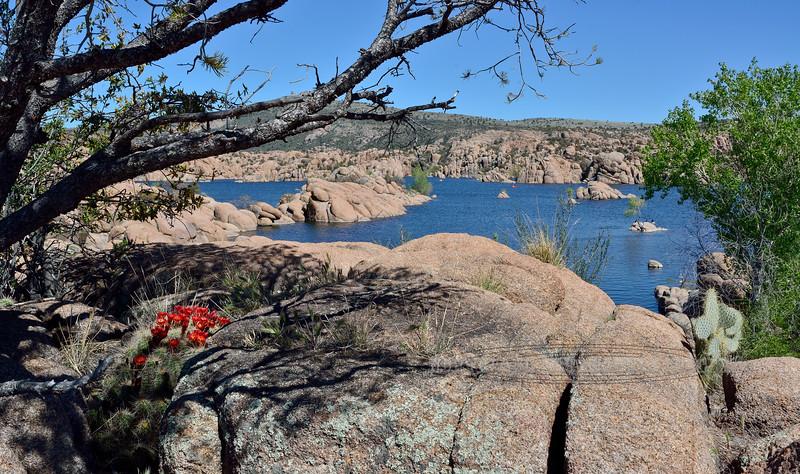 Scarlet Hedgehog cactus 2020.4.27#0442.4. Echinocereus coccineus. Watson Lake in the Prescott Dells, Arizona.