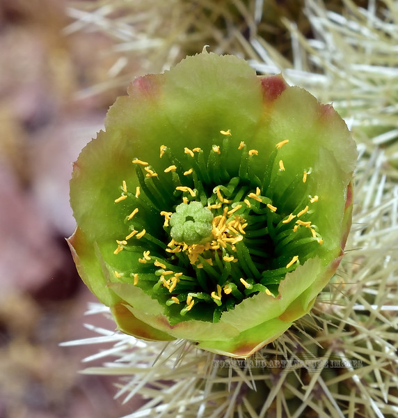 A Teddy Bear Cholla bloom. 2020.5.22#9995.3. Cylindropuntia bigelovii. Hills north of Aguila off of route 71 Arizona.