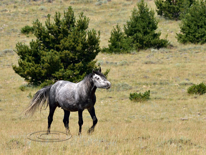 Wild Horse 2018.7.7#2639. A dark dapple grey. Wyoming.