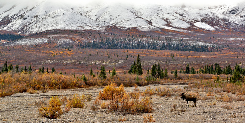 Bull Moose 2015.9.15#075. The last color of fall in the Savage country, Denali Park Alaska. Toggle forward to see images of this same bull the next day.