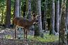 Eastern Whitetail buck 2020.9.23#3991.2. Penn's Woods, Pennsylvania.