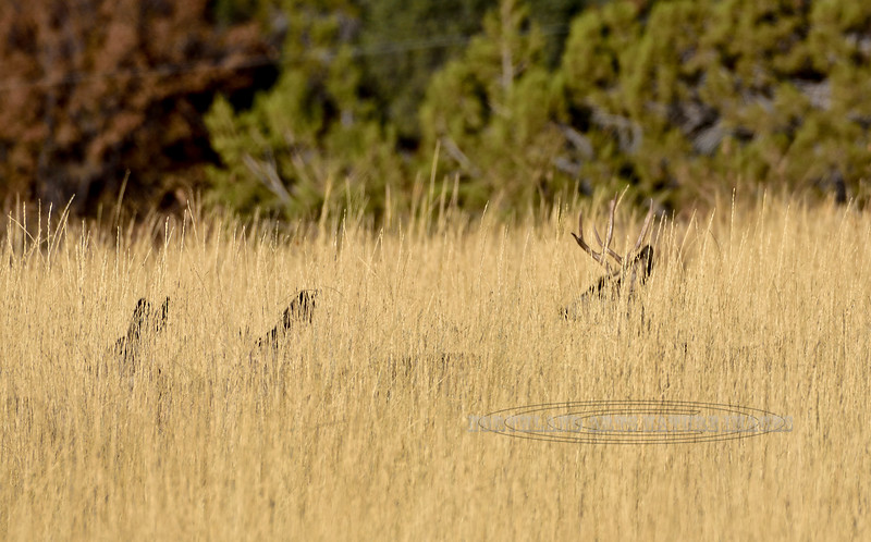 DM-2019.10.15#610.2. A Mule Deer buck and does in high golden grass east of Mount Carmel Utah. Photo by Guy J.