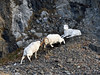 "Sheep, Dall. Battle drama during the sheep ""Rut"". Chugach Mnt's., Alaska. #1125.043.  See large mammal gallery for more sheep images."