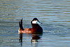 Ruddy Duck 2019.4.8#470. Cochise Lake, Wilcox Arizona.